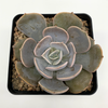 Echeveria 'Pollux' for sale at East Austin Succulents