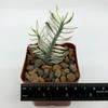 Pedilanthus tithymaloides 'Nana' for sale at East Austin Succulents