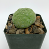 Pseudolithos haradheranus for sale at East Austin Succulents