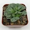 Titanopsis calcarea 'Concrete Leaf' for sale at East Austin Succulents
