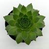 Sempervivum 'Pacific Hazy Embers' for sale at East Austin Succulents