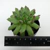 Sempervivum calcareum 'Oddity' for sale at East Austin Succulents