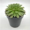 Sempervivum 'Hens & Chicks' [Single Plant] for sale at East Austin Succulents