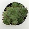 Sempervivum 'Hens & Chicks' [Cluster] for sale at East Austin Succulents