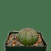 Euphorbia obesa 'Baseball Plant'
