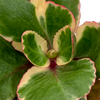 Kalanchoe blossfeldiana variegata tricolor