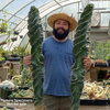 Extra massive Cereus forbesii 'Spiralis' specimen