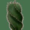 Cereus forbesii 'Spiralis'