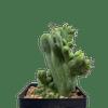 Trichocereus bridgesii monstrose crested East Austin Succulents