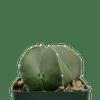 Astrophytum 'Kiko'