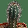 Cipocereus bradei