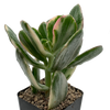 Crassula ovata variegata ''Tricolor Jade''