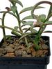 Monadenium rubellum (caudex forming)