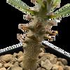 Pachypodium baronii