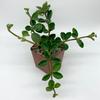 peperomia hope East Austin Succulents
