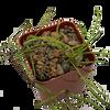 Hoya retusa for sale at East Austin Succulents