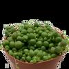 String of Pearls (Senecio rowleyanus) [medium]