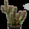 Crassula rupestris subsp. marnieriana (Jade Necklace)