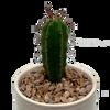 Trichocereus bridgesii mm x lumberjack