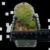 Pseudolithos migiurtinus [large]
