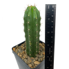 "Trichocereus ""Kimura's Spiny Giant"" x pachanoi"