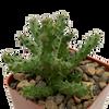 Edithcolea grandis (Persian Carpet Flower)