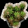 Cereus peruvianus monstrose [medium]