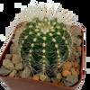 Notocactus magnificus / Parodia magnifica