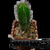 Trichocereus colossus x lumberjack