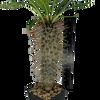 Pachypodium lamerei 'Madagascar Palm' [Medium]
