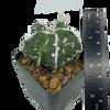 Astrophytum fukuryu hybrid