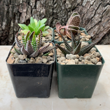 Haworthia 4-Pack
