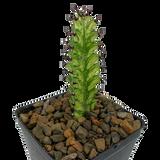 Euphorbia mayurnathanii variegata [small]