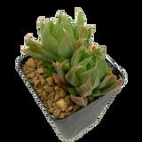 Haworthia aristata globiflora variegata