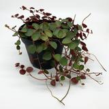 "Peperomia rotundifolia ""Ruby Cascade"""