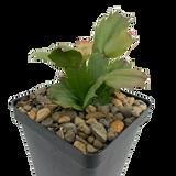 "Schlumbergera bridgesii ""Christmas Cactus"" [soft pink]"