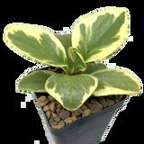 Peperomia obtusifolia variegata