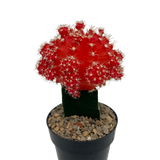 Moon Cactus - Red