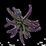 "Tillandsia capitata ""Painted Purple"""