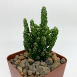 Opuntia monacantha montrose [mini]