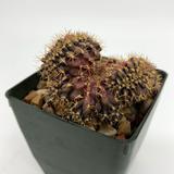 Gymnocalycium friedrichii cristata