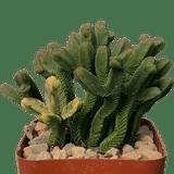 Crassula pyramidalis variegata 'Pagoda Mini Jade'