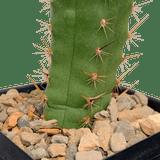 Trichocereus peruvianus / Echinopsis peruviana
