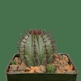 Euphorbia polygona red spine