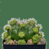 Gymnocalycium marsoneri subs. matoense cv. Multiproliferum