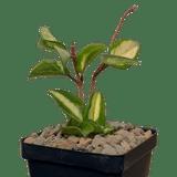 Hoya carnosa 'Krimson Princess'