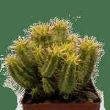 Euphorbia ferox variegata [yellow form]