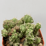 'Elite' Myrtillocactus monstrose crested