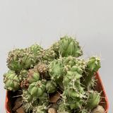 Myrtillocactus 'Elite' monstrose crested