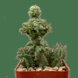Euphorbia horrida monstrose